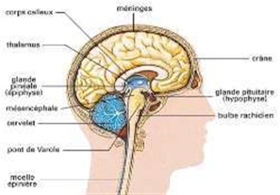 Système nerveux central : définition - docteurclic.com