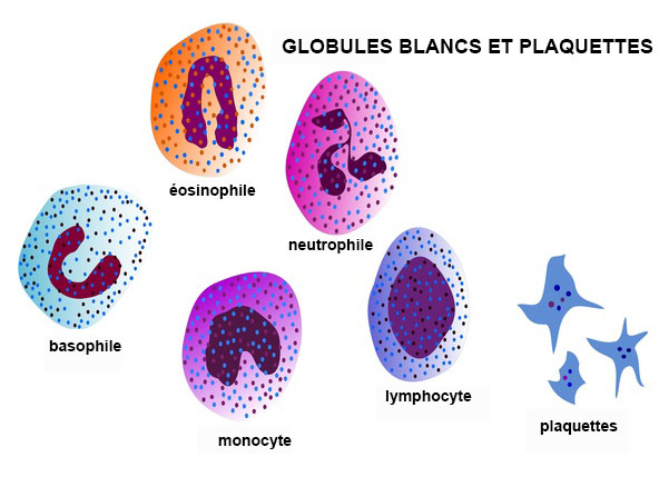 Globules blancs d finition - Gaufre bleu maladie femme photo ...