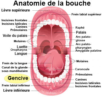 Gencives gonfl es sympt mes traitement d finition for Interieur de la bouche