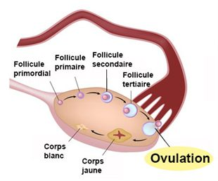 How To Induce Ovulation