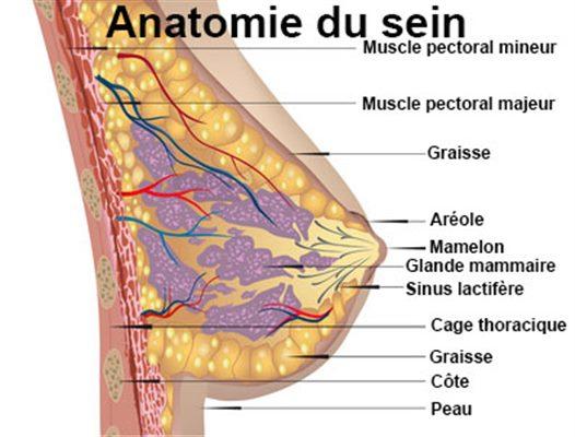Anatomie poitrine, sein