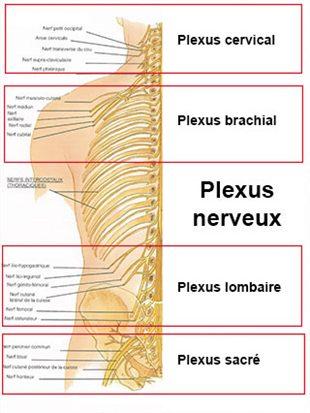 Plexus nerveux