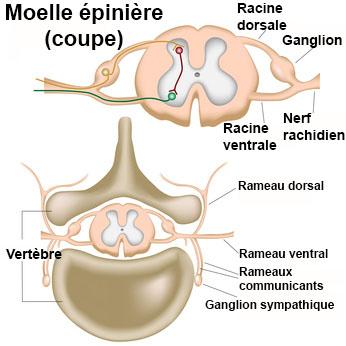 rachis dorsal et lombaire