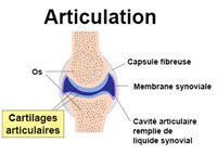 cartilages articulaires