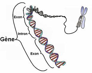"""Résultat de recherche d'images pour """"un gène definition"""""""