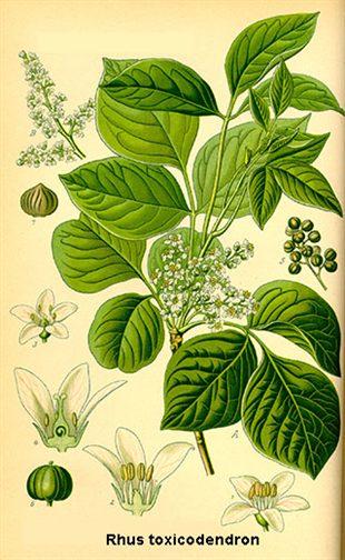 Rhus toxicondendron (homéopathie)
