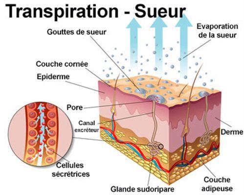 mecanisme transpiration
