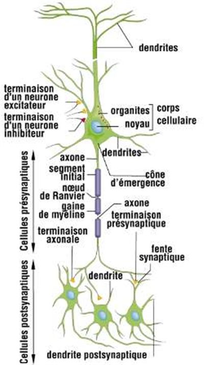 Conduction nerveuse