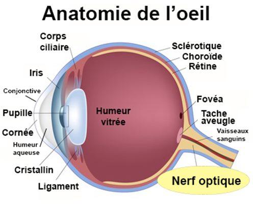 Nerf optique : définition - docteurclic.com
