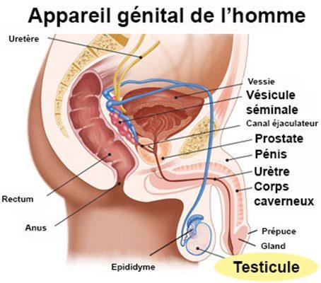 Maladies du testicule : définition - docteurclic.com
