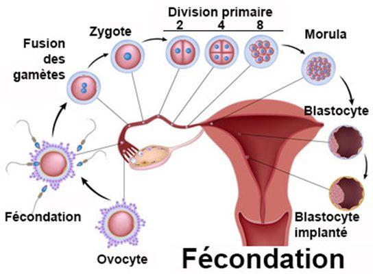 combien de temps spermatozoide rencontre ovule