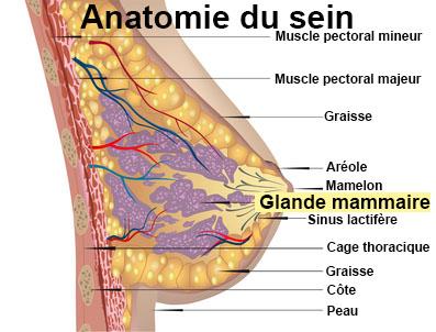 Mastose : symptômes, traitement, définition - docteurclic.com