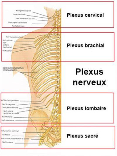 Plexus nerveux : définition - docteurclic.com