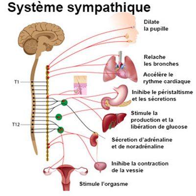 Système sympathique : définition - docteurclic.com