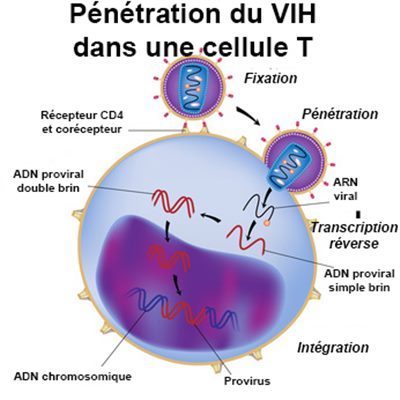 Multiplication du VIH
