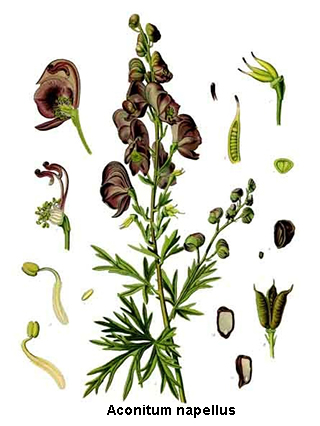Aconitum (homéopathie) : posologie, traitement..