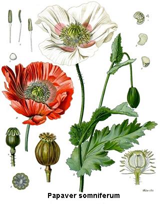 Opium (homéopathie) : posologie, traitement, indications..